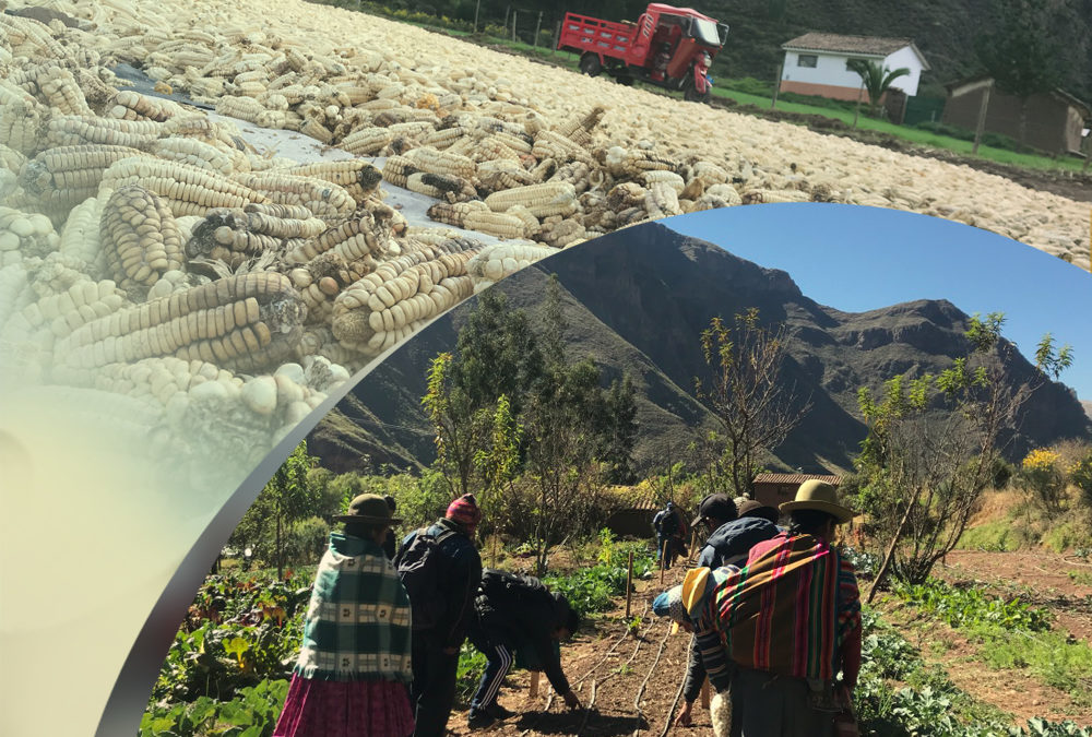 Seed Saving and Climate Resilience in the Peruvian Andes